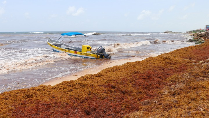 sargassum atlantic